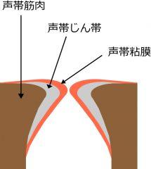声帯の断面図を正面から見る