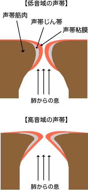 低音の厚い声帯と高音の薄い声帯